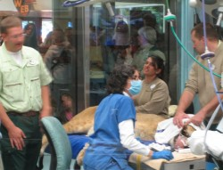 Lion undergoing Veterinary Exam at Disney\'s Animal Kingdom
