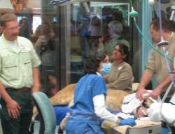 Lion undergoing Veterinary Exam at Disney\'s Animal Kingdom