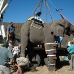Preparing the elephant for Operation via Crane-truck