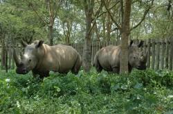 White Rhinos in Uganda