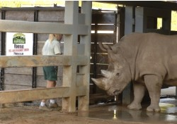 Crate Training for White Rhinos at Disney\'s Animal Kingdom