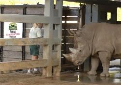 Crate Training for White Rhinos at Disney\'s Animal Kingdom