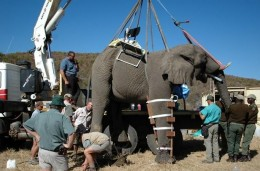 A laparoscopic vasectomy is performed on an Elephant