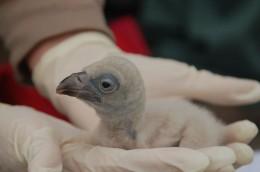 dak-griffon-vulture-baby