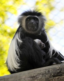 BABY COLOBUS MONKEY BORN AT WALT DISNEY WORLD RESORT