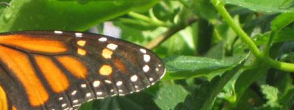 Butterfly Garden - 2009 EPCOT Flower and Garden Festival