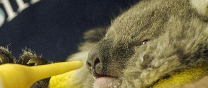 koala-close-up-ifaw-425