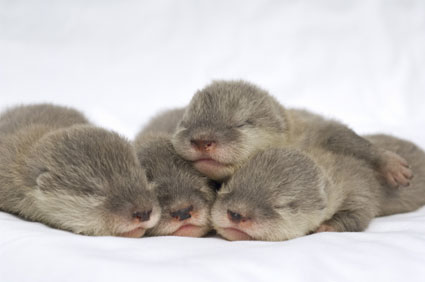 seaworld-baby-otters-2