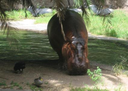 dak-hippo-425