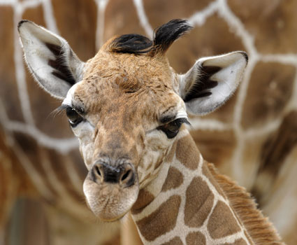 Bolo - Baby Giraffe from Disney's Animal Kingdom