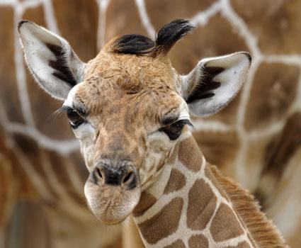 Bolo - Baby Giraffe from Disney's Animal Kingdom