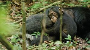 chimpanzee-oscar