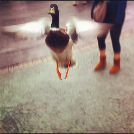 duck-disneyland