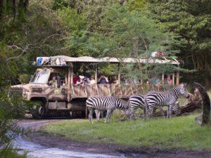 plains zebra at kilimanjaro safari