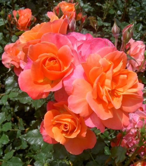 disneyland-rose