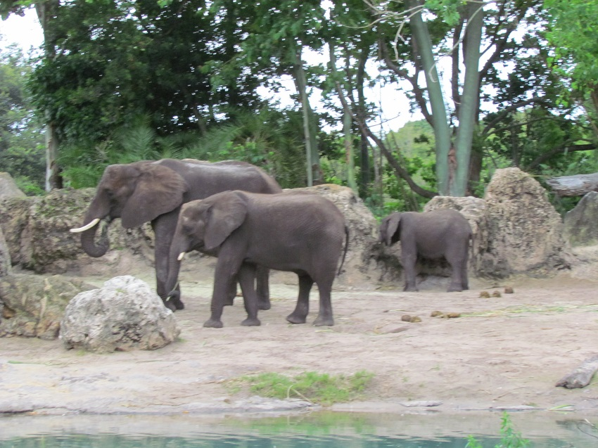 The baby elephants are really beginning to grow. It looks like the savannah needs to be replanted. It's mostly just bare dirt these days.