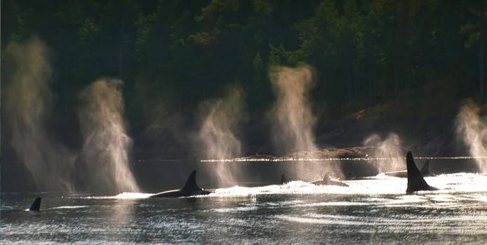 Blackfish_orcas_wild