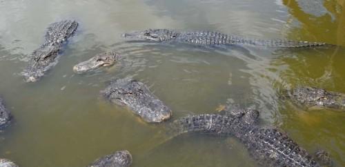 gators (1)