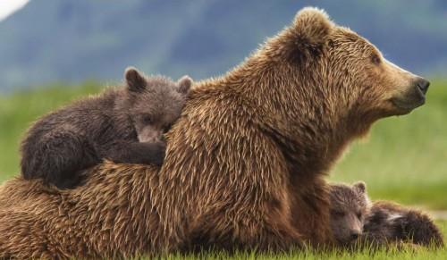 bears-disneynature-1