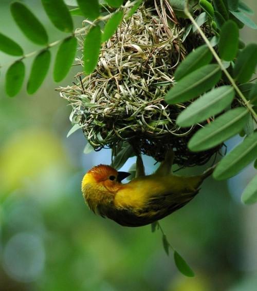 bird-dak-canary