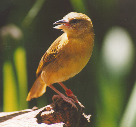 bird-dak-canary2