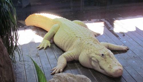 gatorland-white-gator