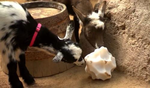 dl-goats