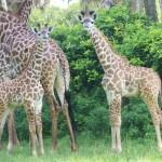 masai-giraffe-dak
