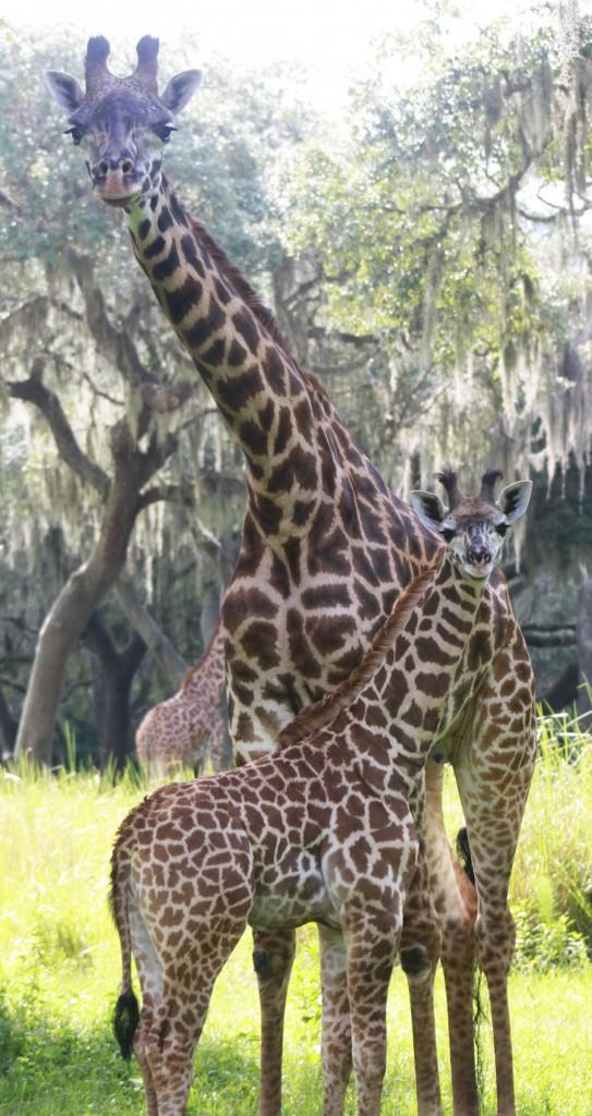 masai-giraffe-dak2