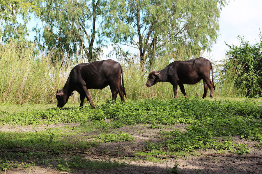 water-buffalo-dak-2