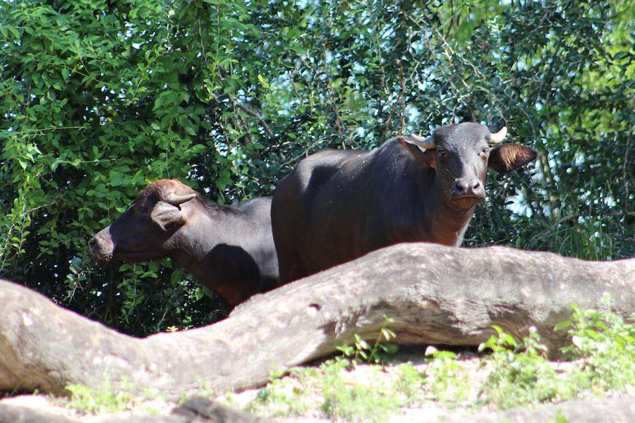 water-buffalo-dak
