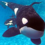seaworld-orca-killer-whale