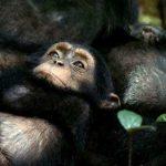 disneynature-chimp