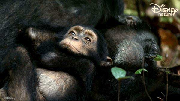 disneynature-chimp