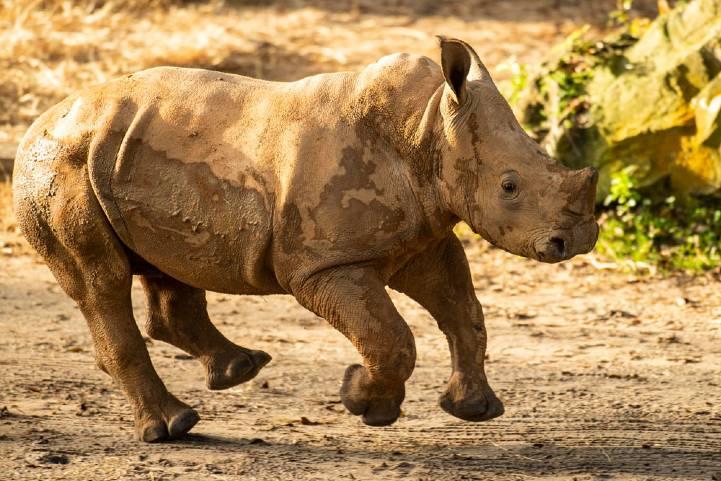 Ranger, the 4-month-old white rhino calf