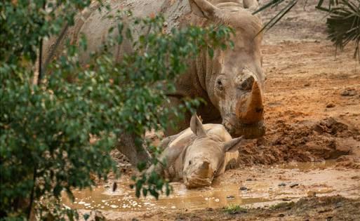 Rhino calf Ranger and mom