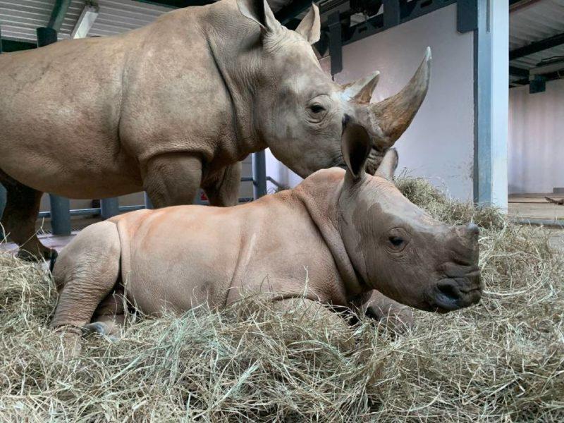 Kendi the White Rhino and her calf in January 2021