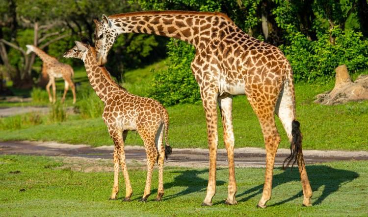 Masi Giraffes at Disney's Animal Kingdom - David Roark, photographer